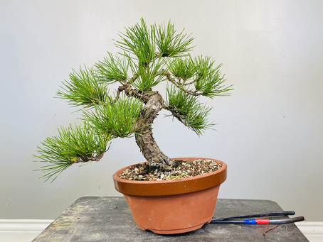 #ProgressionThursday - Shohin Black Pine Bonsai
