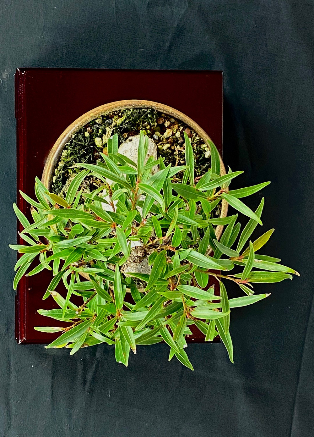 Shohin willow leaf ficus
