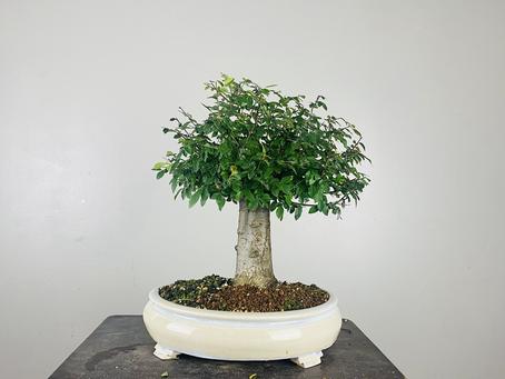 Bonsai Progression - The Chainsaw Elm