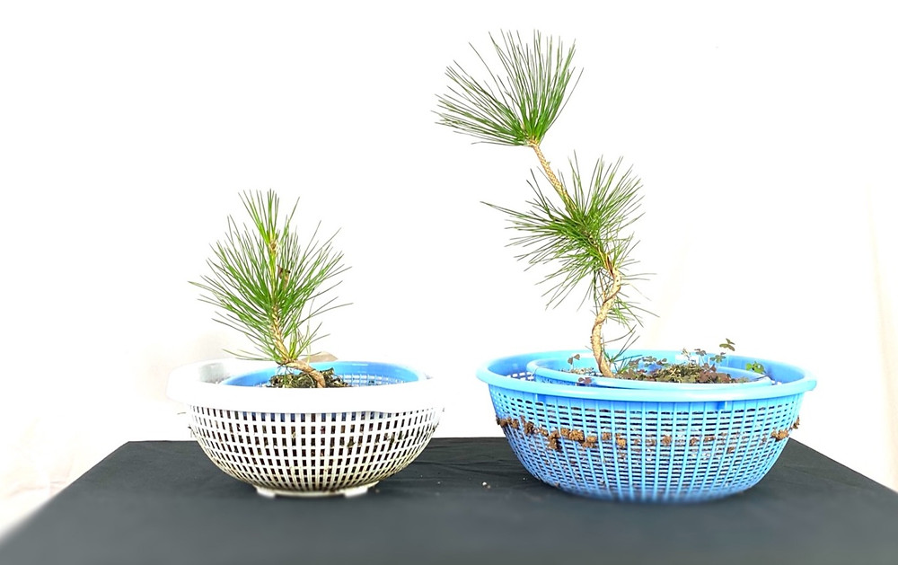 japanese black pines bonsai grown from seed in colanders against a white wall