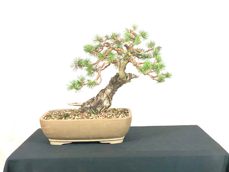 #ProgressionThursday - Pinus Sylvestris Bonsai