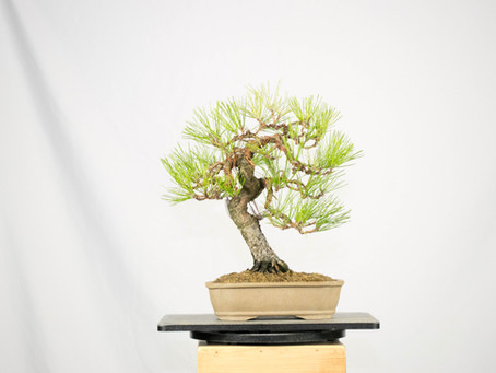 #ProgressionThursday - Japanese Black Pine Bonsai