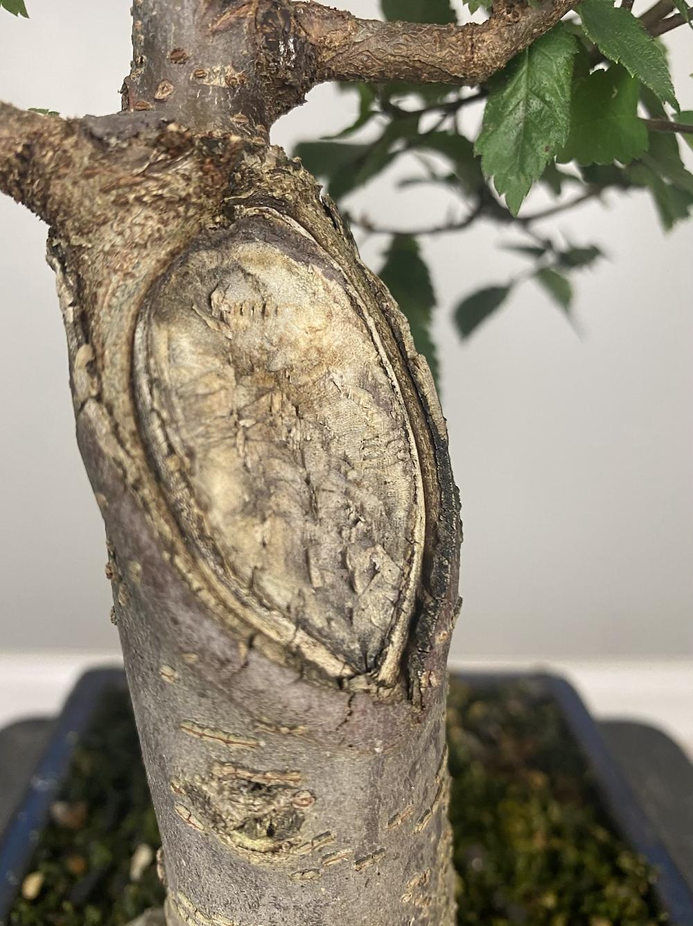 bonsai chop healing