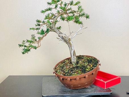 #ProgressionThursday - Yew Bonsai