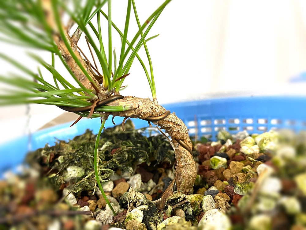 wire biting into a japanese black pine bonsai seedling