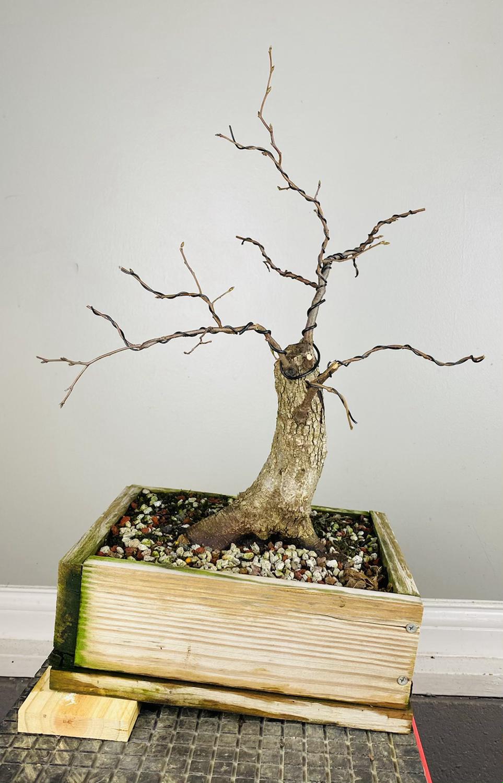 American Elm Bonsai