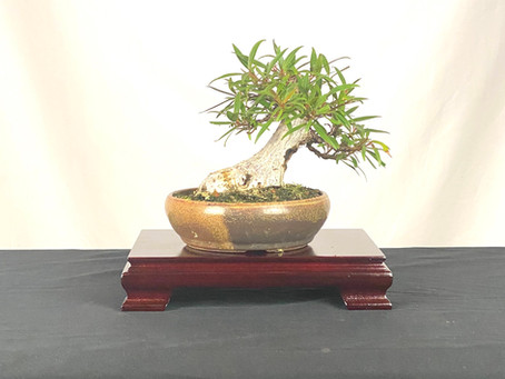 #ProgressionThursday - Willow Leaf Ficus Bonsai