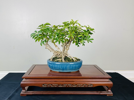 #ProgressionThursday - Dwarf Schefflera Bonsai