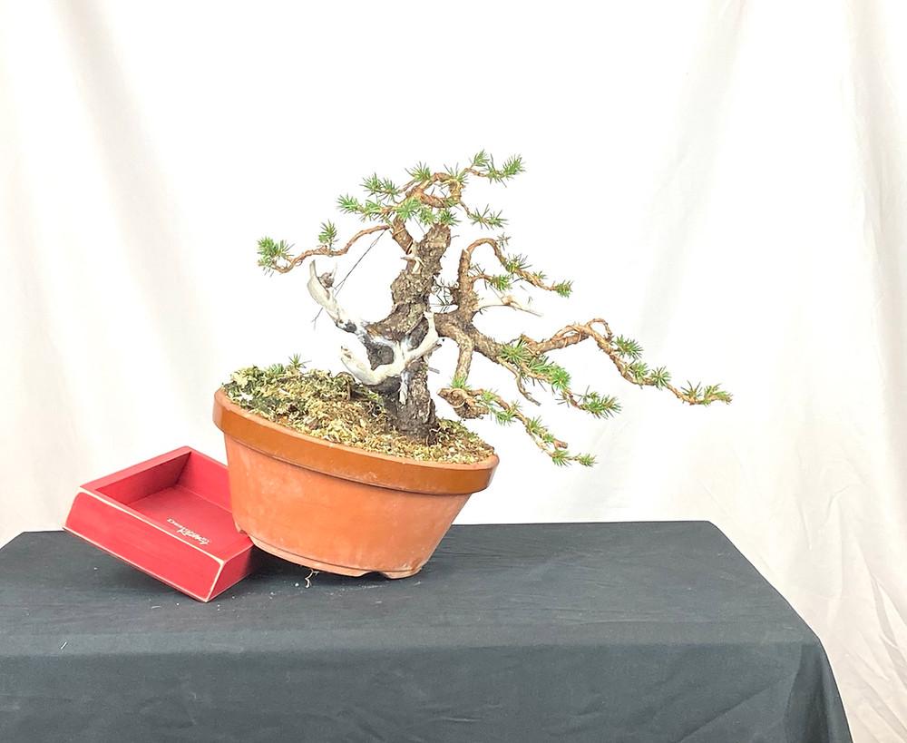 Colorado Blue Spruce Bonsai Tree