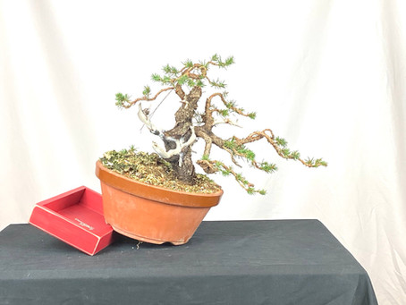 #ProgressionThursday - Colorado Blue Spruce Bonsai