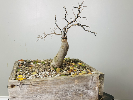 #ProgressionThursday - Zelkova Bonsai