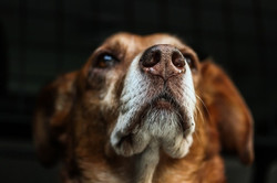 dog-brown-snout-fur-medium