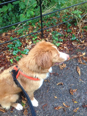 Amber, the Duck Tolling Retriever