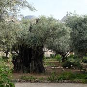 Gethsemane pic .JPG