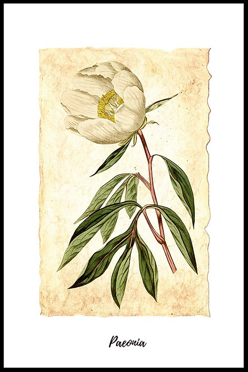 Hvid pæon