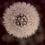 Thumbnail: Dandelion - mælkebøtte højformat 1
