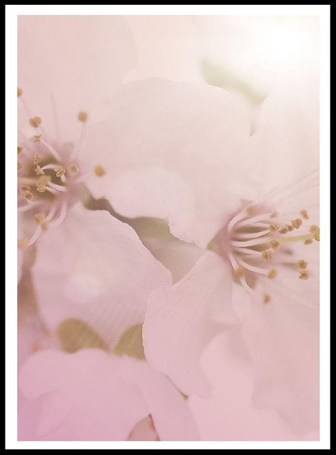 Kirsebær blomster 3