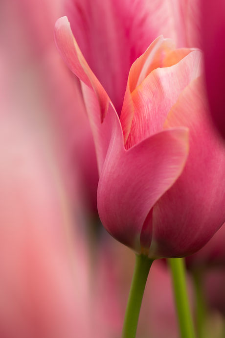 Watercolor pink tulip flower close-up us