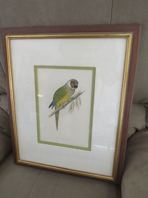1880s Green & yellow Parrot Print Parrots in Captivity 15x 20