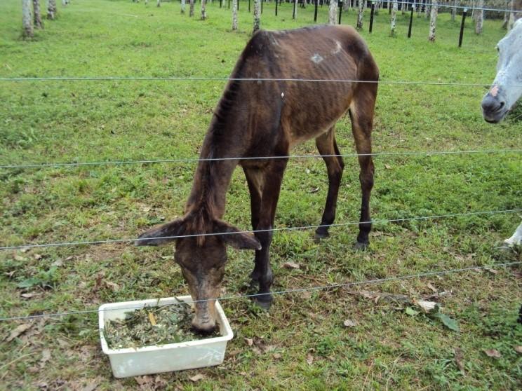 animal sendo alimentado com forragem