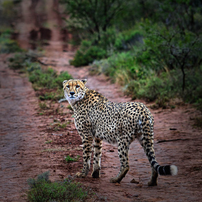 Cheetah (Pumba Reserve) - Mike Whiffin