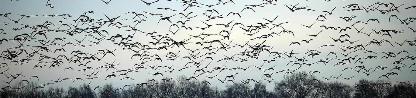 wild-geese-1150167_1920_edited_edited.jp