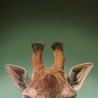 Giraffe- Pastels