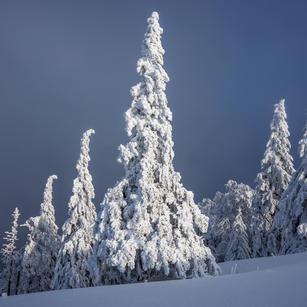 Tannen mir Schnee