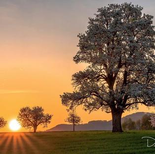 Birnenbaum bei Rünenberg
