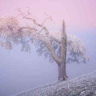 Föhre im Frostkleid