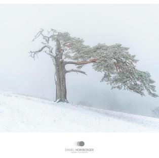Roggenföhre im Winter