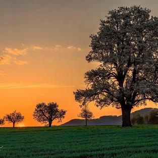 Birnenbaum bei Rünenberg 2