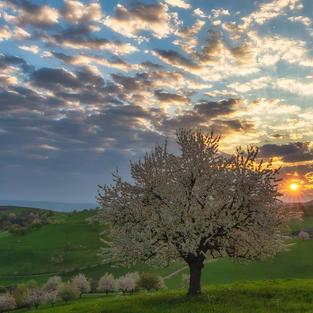Kirschbaum mit Sonne
