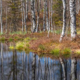 Birken am Wasser 1