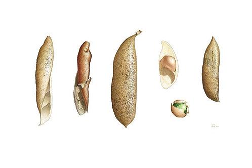 """""""Black Bean"""" - Castanospermum australe"""
