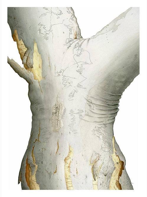 """Scribbly Gum 1"" - Eucalyptus haemastoma"