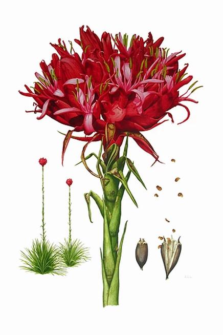 Gymea Lily