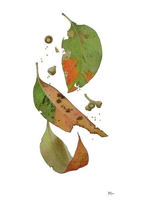 """Falling Leaves"" - Eucalyptus caliginosa"