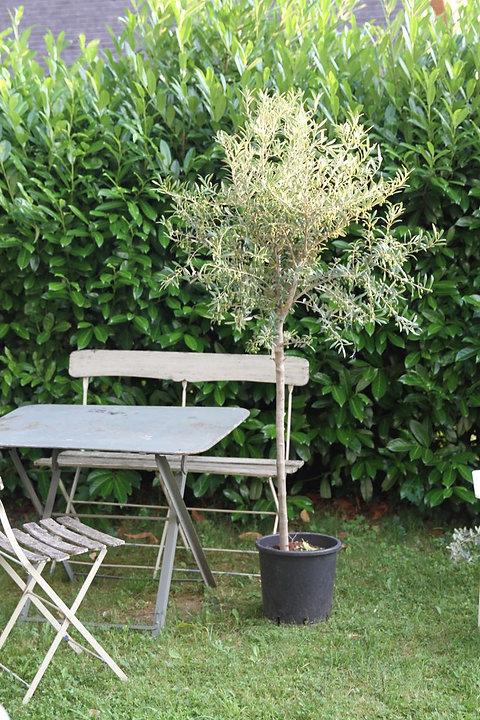Olivenbaum Gross Ohne Korb