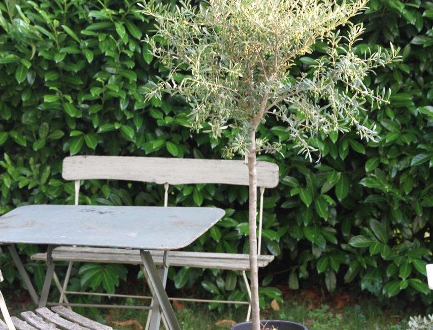 Olivenbaum gross (ohne Korb)