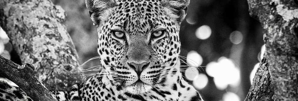 the leopardess