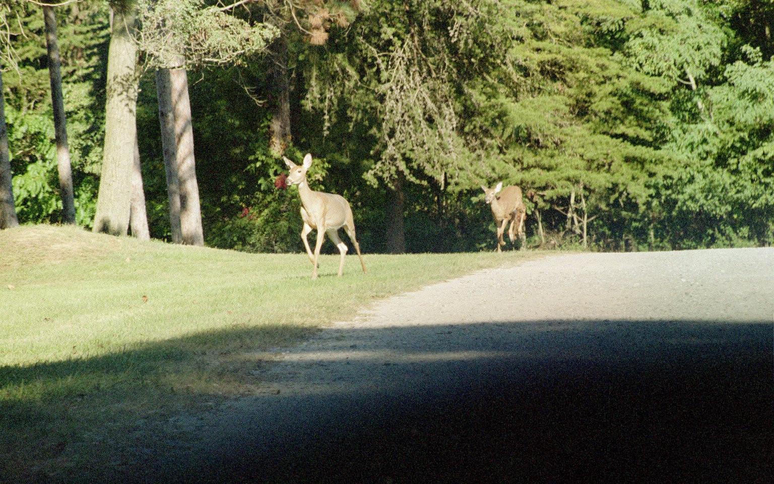 Deer-by-the-roadIMG25.jpg