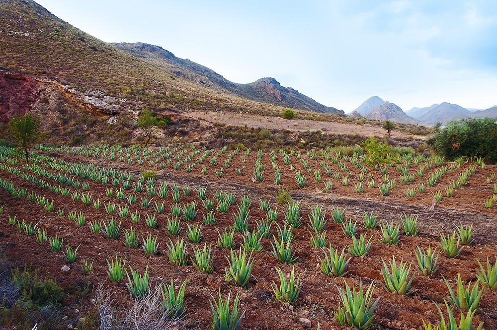 Aloe Vera, cultivo ecológico en Murcia España