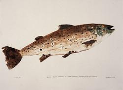 MBW Fish 15