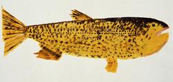 MBW Fish 11
