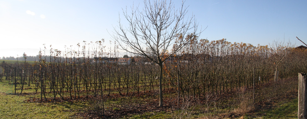 Apfelbäume Richtung Freudwil.