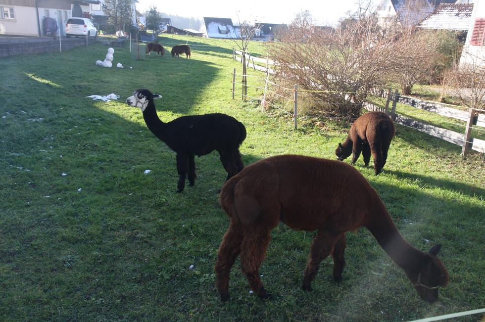 Alpakas, die ihren Weideplatz neben dem Volg haben.