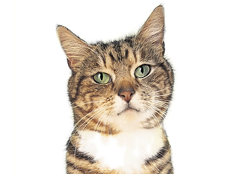 正面を向く猫の顔