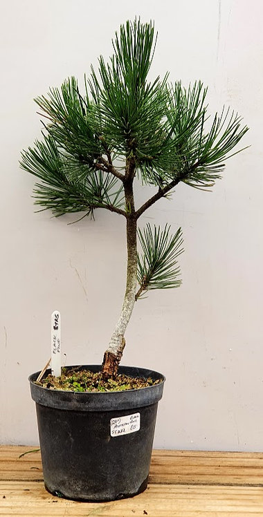 ST282 Black Pine