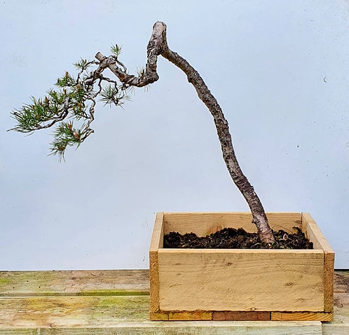 3575 Scots Pine
